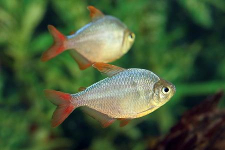 hyphessobrycon: Hyphessobrycon equadoriensis. Aquarian fish close up