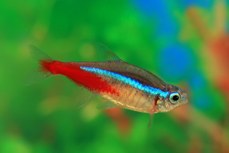 neon tetra: Paracheirodon innesi. Blue ordinary neon close up Stock Photo