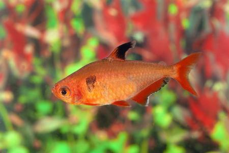 hyphessobrycon: Hyphessobrycon minor. Aquarian small fish close up