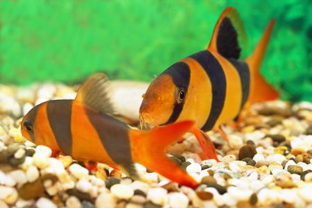 freshwater clown fish: Botia macracantha. Aquarian small fish close up Stock Photo