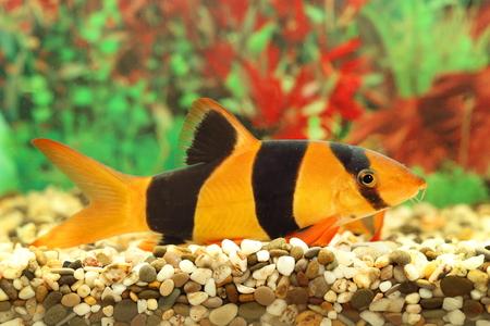 loach: Botia macracantha. Aquarian small fish close up Stock Photo
