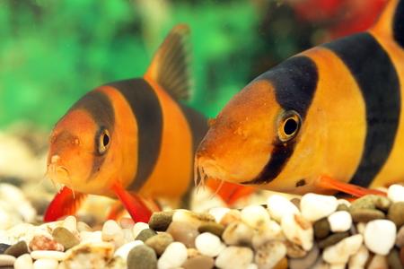 aquarian fish: Botia macracantha. Aquarian small fish close up Stock Photo