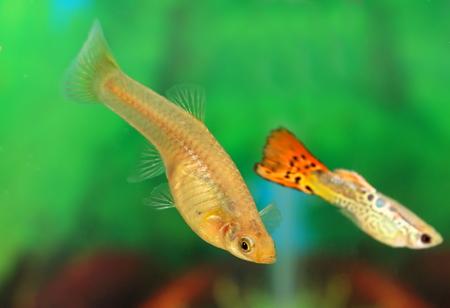 Poecilia reticulata. Female of a small fish close up