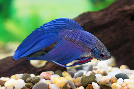 Betta splendens. An aquarian small fish in an aquarium interior Stock Photo