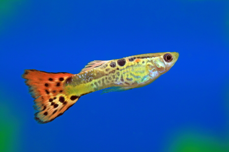 poecilia: The male of the guppy close up floats in an aquarium