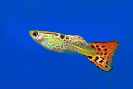 guppies: The male of the guppy close up floats in an aquarium