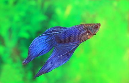Betta splendens。水槽内部の水瓶座生まれ小さな魚