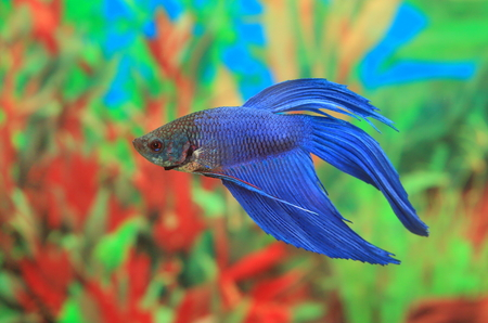 Betta splendens. An aquarian small fish in an aquarium interior Banco de Imagens