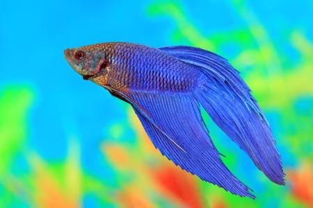 betta splendens: Betta splendens. An aquarian small fish in an aquarium interior Stock Photo
