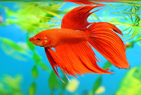 Betta splendens. The red male of fish floats in an aquarium