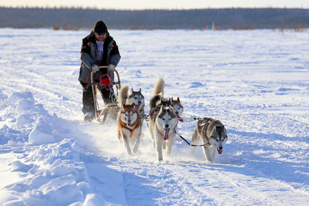 breeder: NADYM, RUSSIA - MARCH 14, 2015: races on dogsleds during a traditional holiday of aboriginals of the North Day of the reindeer breeder Editorial