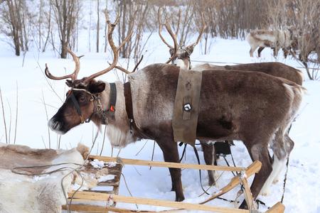 esquimales: Los renos enjaezados en trineo