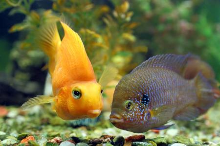 cichlasoma: Aquarian fishes of Hemichromis bimaculatus Cichlasoma parrot float in an aquarium