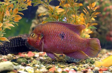 aquarian: Hemichromis bimaculatus. Aquarian fish close up