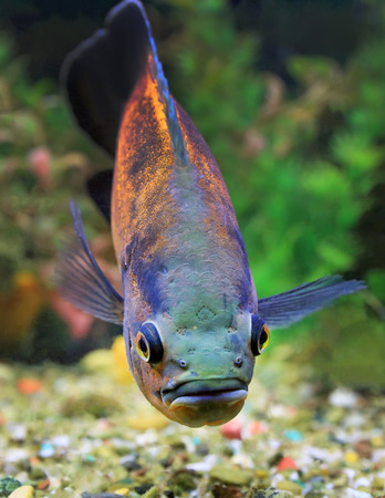 ocellatus: Astronotus ocellatus. Aquarian fish floats in an aquarium