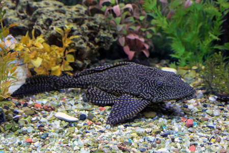 aquarian fish: Glyptoperichthys gibbiceps. The leopard brocade som lies on soil in an aquarium Stock Photo