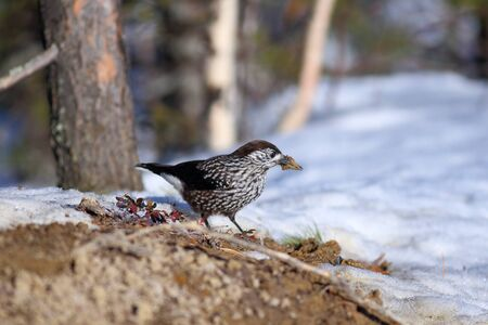 thawed: Nutcracker on the fringe of the forest looks for a forage among thawed patches
