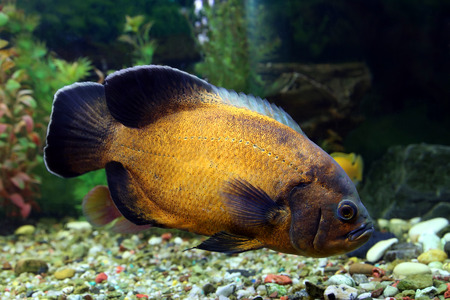 large cichlid: Astronotus ocellatus. Aquarian fish floats in an aquarium