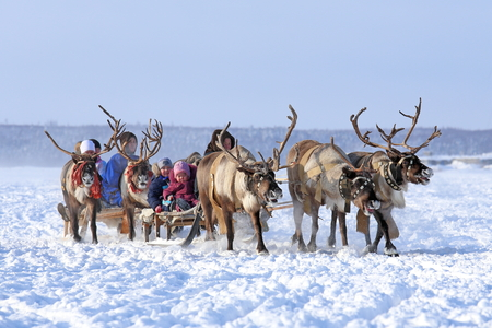 breeder: Nadym, Russia - March 01, 2014: People ride deer during the holiday Day of the reindeer breeder. Day of the reindeer breeder - a traditional holiday of the tundra population