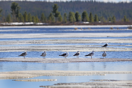 larus: Larus heuglini. Birds on lake ice in the north of Siberia in the spring afternoon
