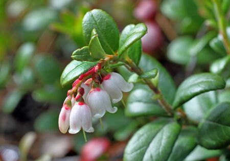 cowberry: White flowers of cowberry close up