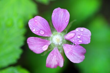 rubus: Rubus arcticus. Plant flower in rain drops Stock Photo