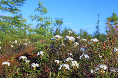 palustre: Ledum palustre. The blossoming plant in summer day Stock Photo