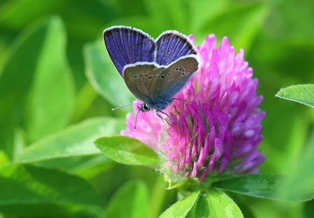 trifolium: Cyaniris semiargus (Rottemburg, 1775). A butterfly on a clover flower Stock Photo