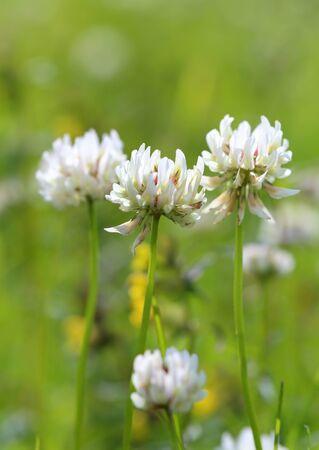 trifolium repens: Trifolium repens. Flowers of a white clover close up