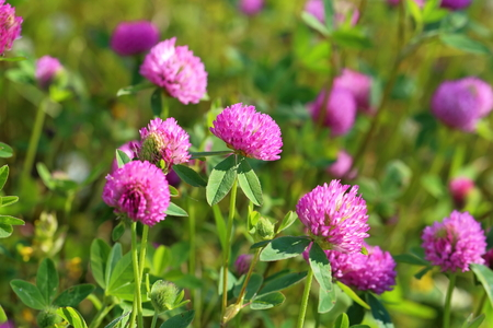 thickets: Trifolium pratense. Thickets of a blossoming clover