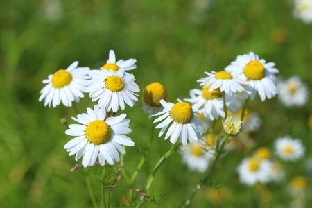 matricaria: Matricaria chamomilla. The blossoming camomile