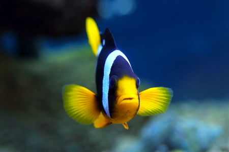 amphiprion: Amphiprion clarkii. Colourful fish in an aquarium