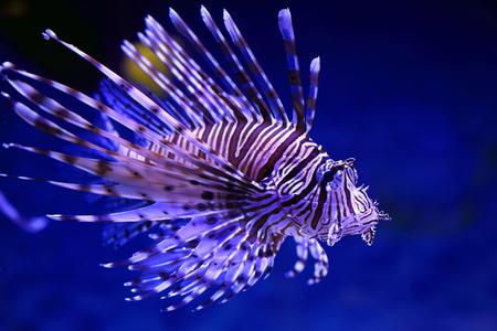 pterois volitans: Pterois volitans. Fish floats against blue sea water