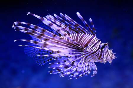 blue fish: Pterois volitans. Fish floats against blue sea water