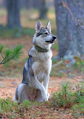 cedars: The West Siberian laika sits among cedars Stock Photo