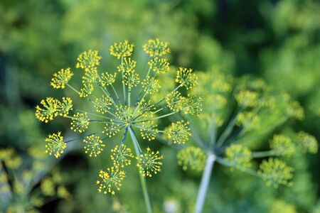 foeniculum: Fennel. Top part of a plant close up