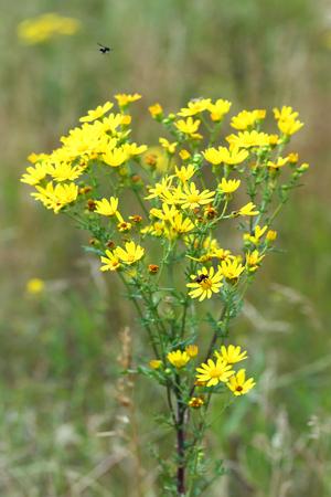 senecio: Senecio erucifolius. Yellow wild flowers