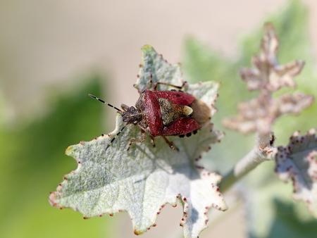 shieldbug: Dolycoris baccarum. A bug on a plant close up Stock Photo