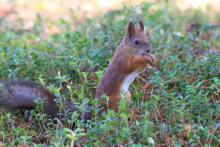 cowberry: Red squirrel among cowberry leaves Stock Photo