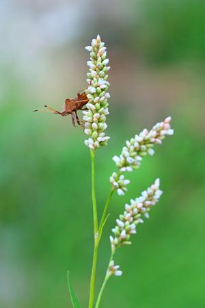 pentatomidae: The forest bug sits on Aconogonon alpinum inflorescence Stock Photo