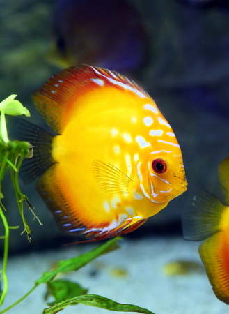 aquarian: Discus Golden Sun. Aquarian fish close up Stock Photo