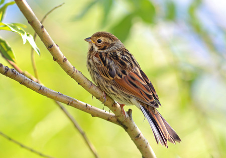 pallas: Emberiza pusilla (Pallas, 1776). The young bird sdit on a branch