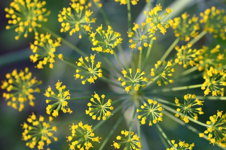 foeniculum vulgare: Fennel. Top part of a plant close up