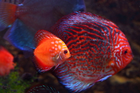 aquarian: Fishes in an aquarium. Golden Sunrise and Turquoise Pigeon Stock Photo