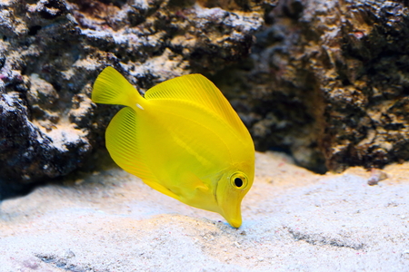 zebrasoma: Zebrasoma flavescens. Colourful aquarian fish