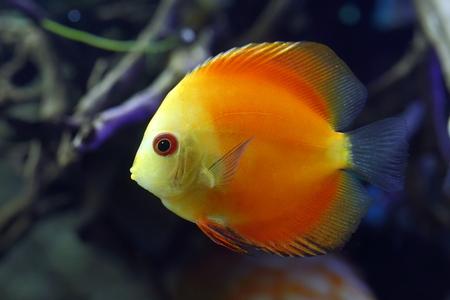 symphysodon discus: Discus Golden Sun. Aquarian fish close up Stock Photo
