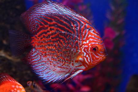 aquarian: Discus Turquoise Pigeon. Aquarian fish close up