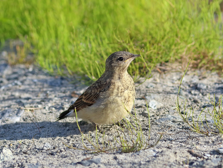 young bird: Oenanthe oenanthe. A young bird in Siberia