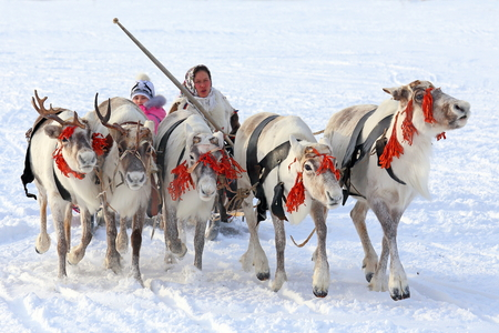 operates: NADYM, RUSSIA - MARCH 14, 2015: the Nenets woman operates a cervine team during a traditional holiday Day of reindeer breeders. Nenets - aboriginals of the Russian North