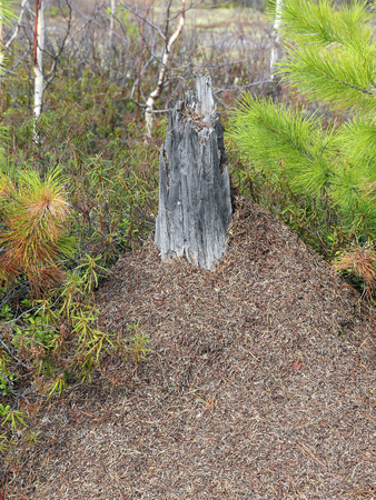 anthill: Ant hill in the Siberian taiga